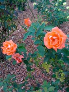 Cochise College Roses