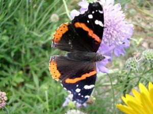 Arizona Butterfly