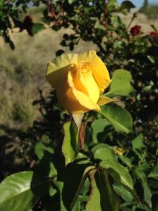 April Morning Rose