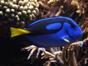 Blue Tang (Dory) Fish